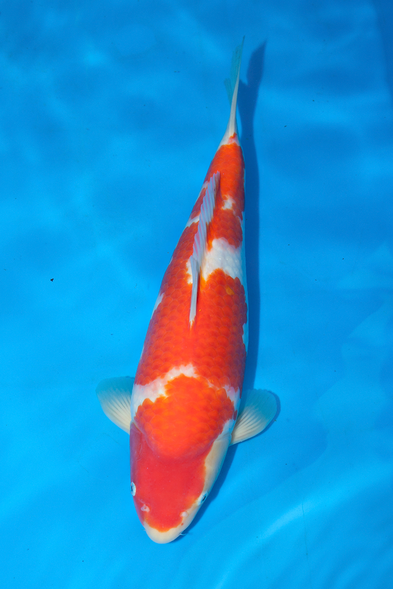 Koi carp from richdon koi suppliers of high quality for Local koi for sale
