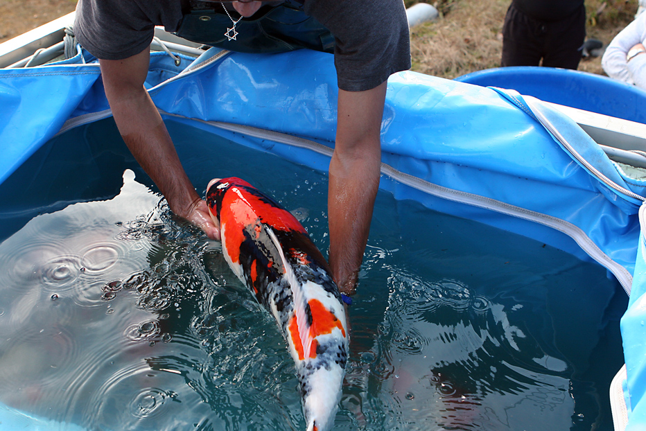 Koi carp from richdon koi suppliers of high quality for Koi in paddling pool