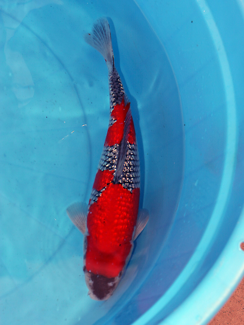 Koi carp from richdon koi suppliers of high quality for Japanese koi for sale uk