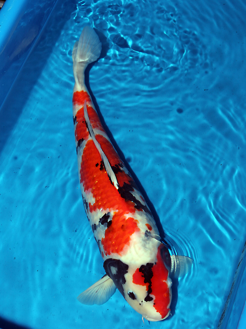 Koi carp from richdon koi suppliers of high quality for Japanese koi carp fish