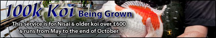 100k Koi Being Grown