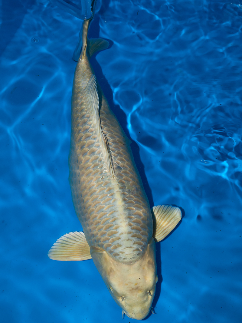 Koi Carp For Sale Richdon Koi Suppliers Of High